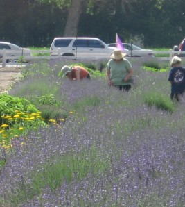Los Pablanos Lavender Field, Albuquerque, NM
