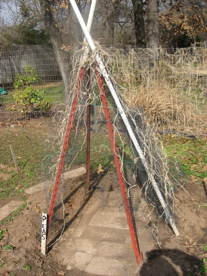 a tipi for climbing peas - great idea