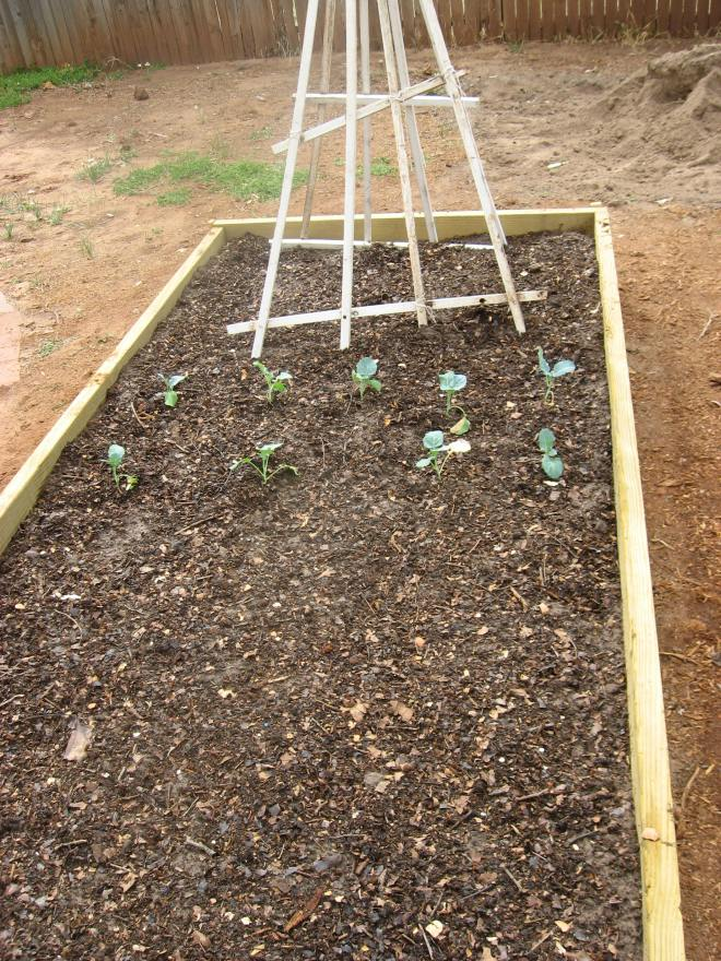 onion sets, broccoli and old trellises for peas later