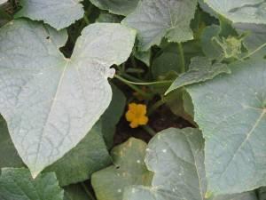 Gherkin blooms